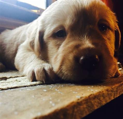 labrador puppies for sale tn labrador puppies knoxville tn dogs in our photo