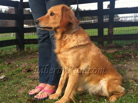 golden retriever adults for sale golden retriever