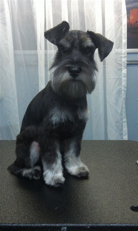 dogs houston grooming houston schnauzer breeds picture