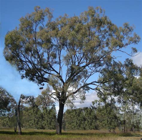 eucalyptus trees file eucalyptus crebra tree jpg wikipedia