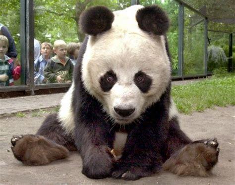 Adidas Berlin Zoologischer Garten by Le Panda G 233 Ant Du Zoo De Berlin Est Mort Europe