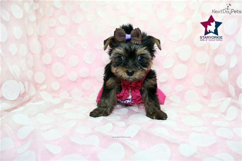 brown teacup yorkie dogs and puppies for sale and adoption oodle marketplace