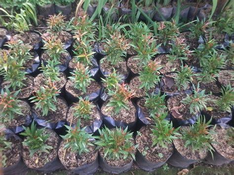 Jual Bibit Bunga Pucuk Merah bunga pucuk merah jual rumput gajah mini rumput jepang murah