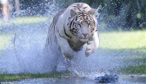 imagenes tigre blanco bengala tigres de bengala corriendo de frente hacia la c 225 mara