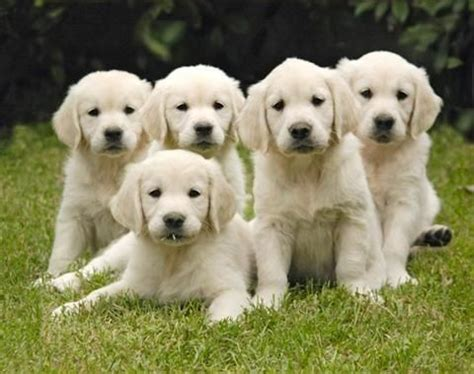 puppies for sale yakima wa golden retriever puppies for sale in yakima wa dogs our friends photo