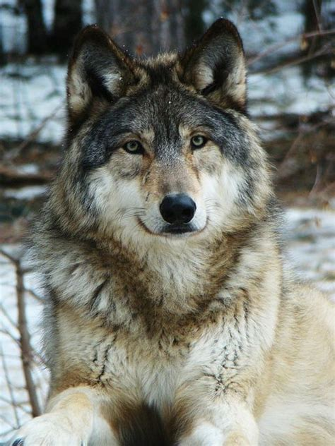 wolf breeds list gray wolf animals