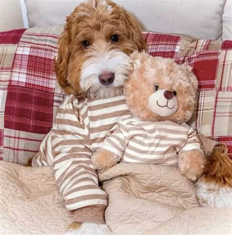 goldendoodle puppy growth 25 best ideas about labradoodles on