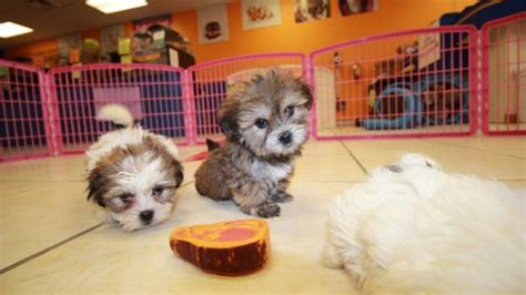 shichon puppies for sale in ga home puppies for sale local breeders