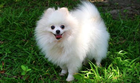 pomeranian breed information 22 best images about pom pom pomeranian on pomeranian husky grown