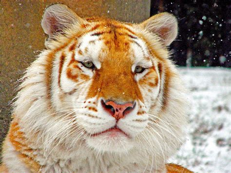 Golden Orange Color by This Is The Rare Golden Tiger Reddit Repost Gdgdtrip