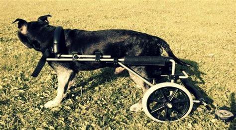 Kursi Roda Untuk Anjing anjing tua bertahan hidup pakai kursi roda global