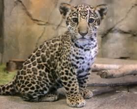 Baby Jaguar Baby Jaguar Animals