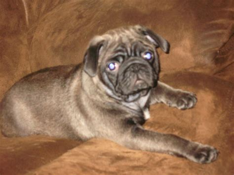 silver pug for sale platinum silver pug for sale bridport dorset pets4homes