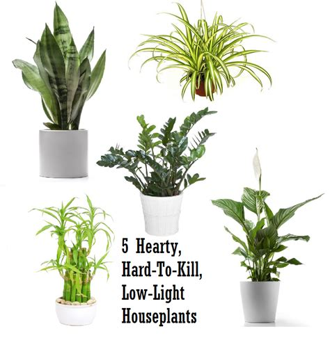 plants that grow in low light 5 hardy hard to kill houseplants for apartments with low