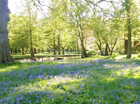 swan paddle boats the woodlands in april a carpet of bluebells appears in the woodland
