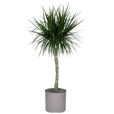 buy house plants now dracaena marginata green bakker com dracaena marginata moisture 7 amazing plant ideas