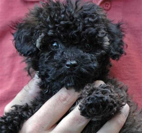 black maltipoo puppies 224 best images about maltipoo dogs on poodles maltese puppies and black