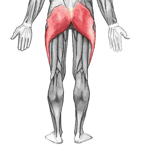buttock muscles diagram gluteal gluteus maximus