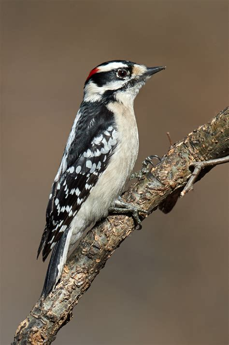 birds of new york woodpeckers