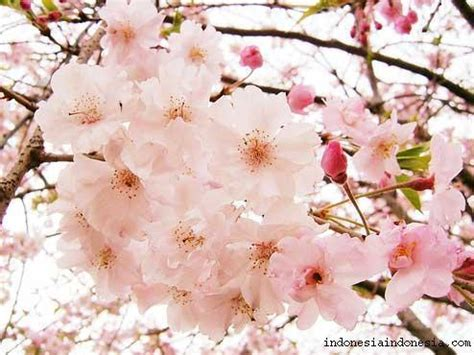 wallpaper live bunga sakura sakura bunga auto design tech