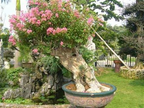 Tanaman Kemuning Micro bonsaiar41
