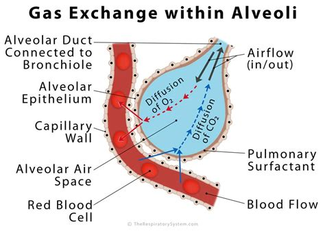 human gas exchange system diagram alveoli definition location anatomy function diagrams