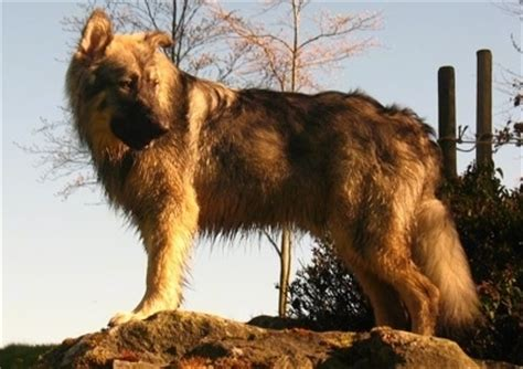 alsatian puppy american alsatian breed information and pictures
