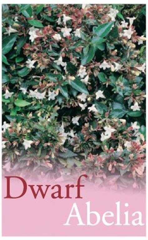 abelia grandiflora dwarf mm pot dawsons garden world