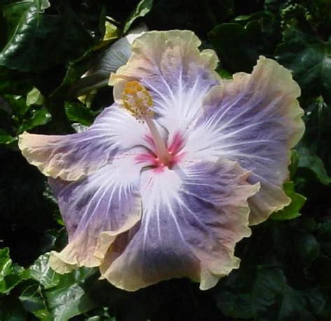 blue and purple hibiscus flower gray blue purple hibiscus flowers silver memories