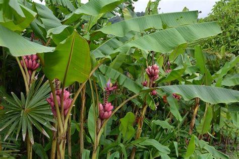 pianta di banano in vaso banano di montagna alberi da frutto variet 224 banano