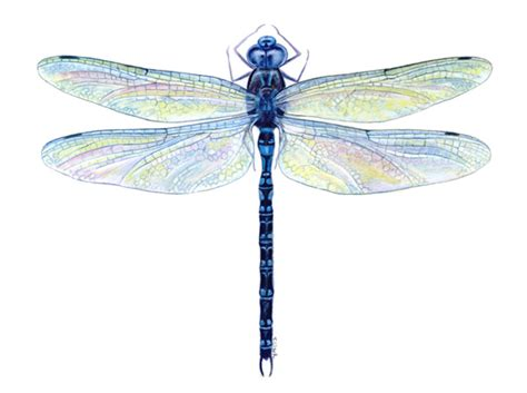 dragonfly png transparent dragonfly png images pluspng