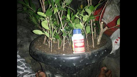 Penumbuh Akar Root Up cara stek dengan root up root most rotoone f