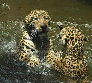 Who Are The Jaguars Jaguars At Play Jaguar Buddies Wrasslin In The Water At