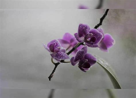 jenis bunga anggrek indonesia lengkap  gambar