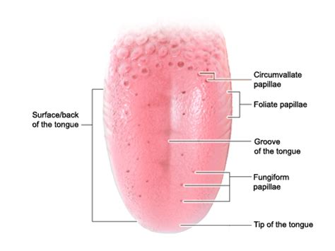taste sections of the tongue how does the tongue work informedhealthonline org