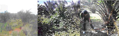 Harga Pupuk Npk Mutiara 25 7 7 pupuk untuk sawit jantan harga pupuk kelapa sawit