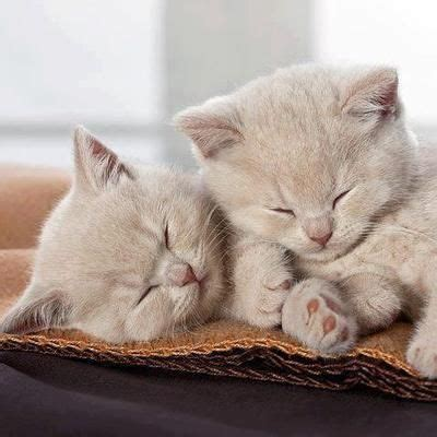 buff colored cat the buff colored kittens meowww cat