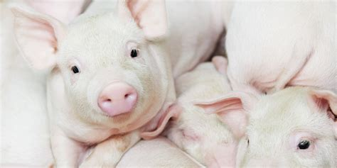 are pigs smarter than dogs why china s yulin festival is a up call to the world the crazz files