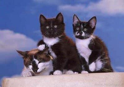 foto di gatti persiani bianchi micetti bianchi e neri mici miao il gatto foto di gatti
