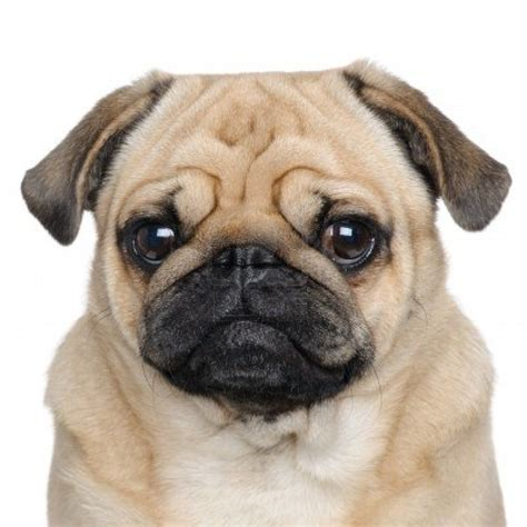 what is the average of a pug pug not in the housenot in the house
