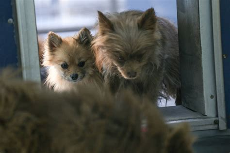 las vegas pomeranian golden knights animal foundation teaming up for pomeranian adoptions las vegas
