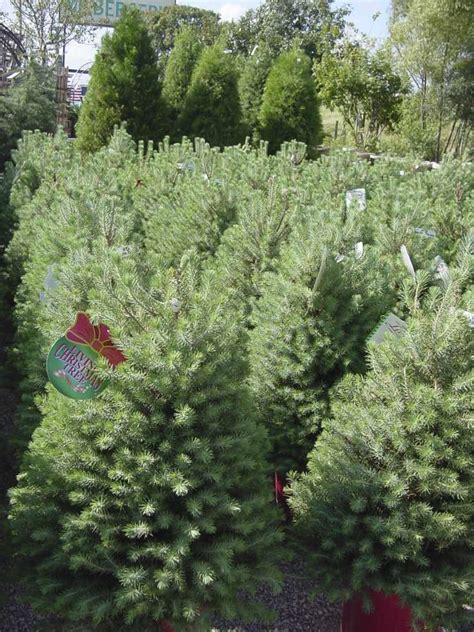christmas trees for sale in san antonio tx calvin finch trees that keep giving san antonio express news