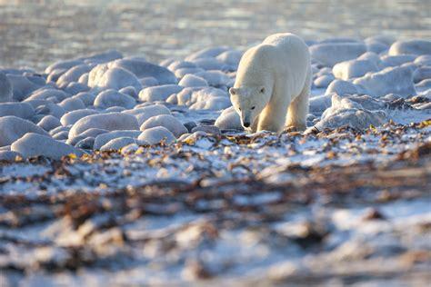 wallpaper bear polar bear canada shore coast white