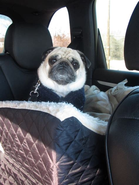 pug car seat 17 best images about pug on pug pug and pets