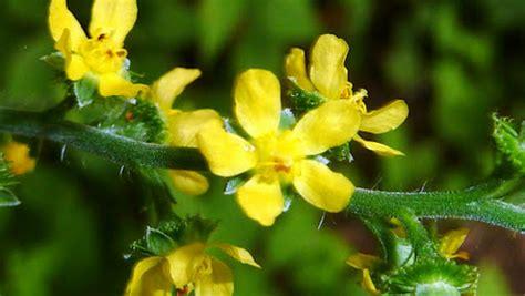 fiore bach fiori di bach agrimony ayursunanda