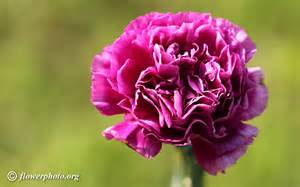 Carnation Flowers Purple Carnation Flower Picture