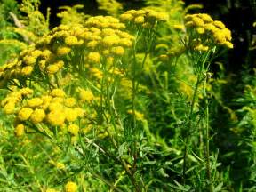 weeds yellow flowers