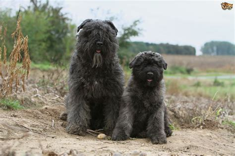 bouvier breed bouvier des flandres breed information facts photos care pets4homes