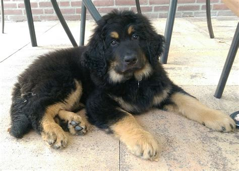 puppy tips for the week my gorgeous 10 week hovawart puppy justviral net
