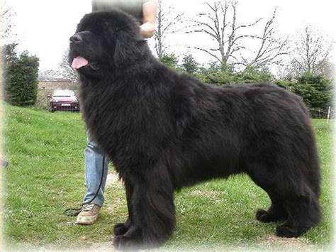 newfoundland dogs 10 popular big fluffy breeds me and my pet